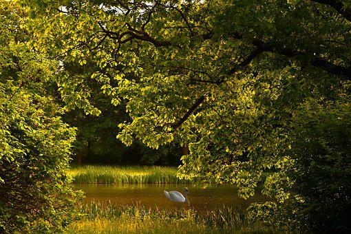 Idyll, Swan, Sunset, Water, Swim, Mute Swan, Rest