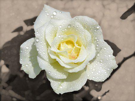 Pearls On Rose, Rose, Water Drops, Shiny, Rose Flower