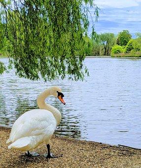 Swan, Lake, Water Fowl, Bird, Water, Trees, Nature