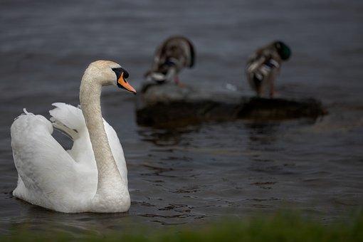 Swan, Bird, Lake, Animals, Figure, Swans, White, Swim