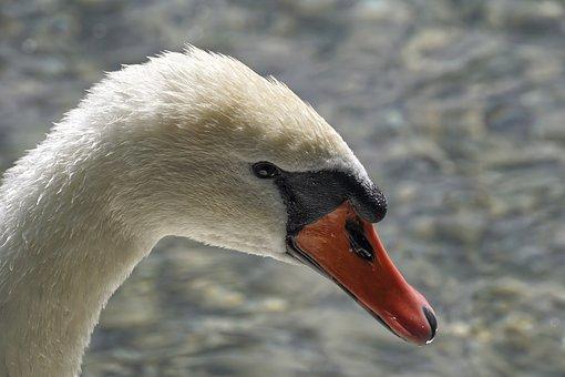 Swan, Mute Swan, Water Bird, White, Swim, Elegant