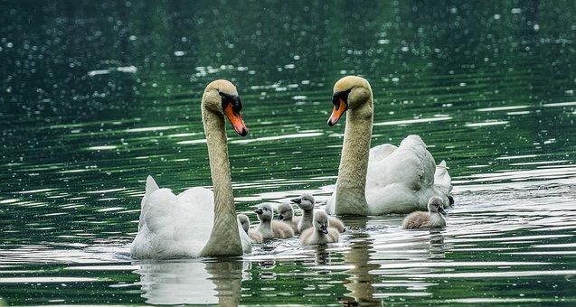 Swan, Family, Water, Swans, Nature, Lake, Swim, White