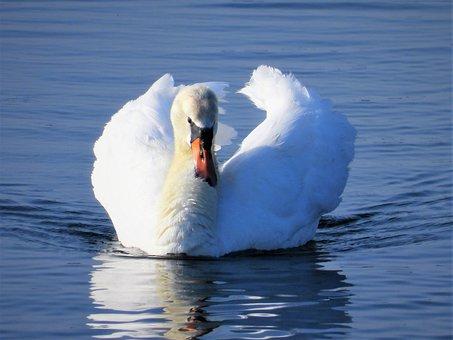 Mute Swan, Waterfowl, Swan, Bird, Water, Swans