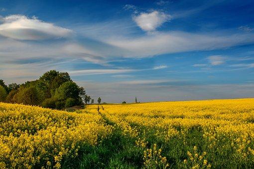 Wilamowice, Rapeseed, Canola Fields, Blooming Rapeseed