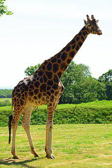 Giraffe, Mammal, Rothschild'S, Animal