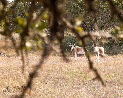 Arabian Oryx, Trees, Plains, Nature, Landscape, Land