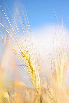 Wheat, Field, Sky, Yellow, Bauer, Agriculture, Cereals