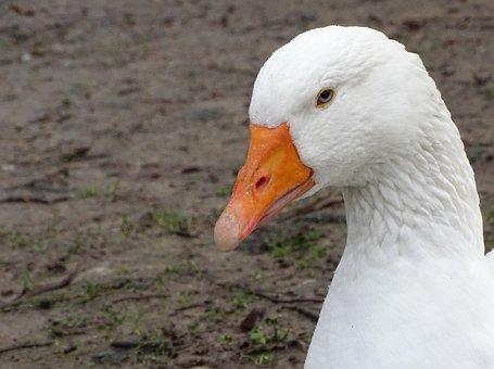 Duck, Oca, Plumage, Geese, Bird, Animal, Peak, Pen