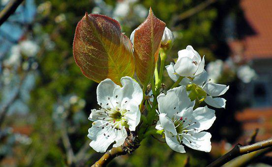 Asian Pear, Flowers, Tree, Spring, Blossoming