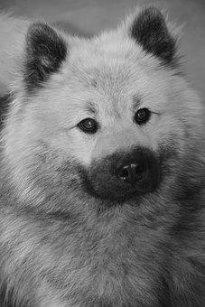 Dog, Black And White Photo, Portrait Dog Eurasier