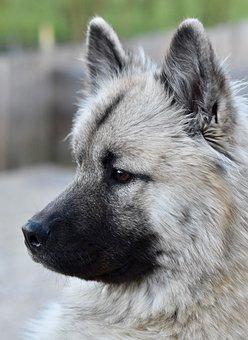 Dog, Bitch, Dog Eurasier, Black And White Photo