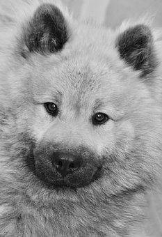 Dog, Dog Portrait, Black And White Photo, Dog Eurasier