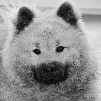 Dog, Black And White Photo, Dog Portrait, Dog Eurasier