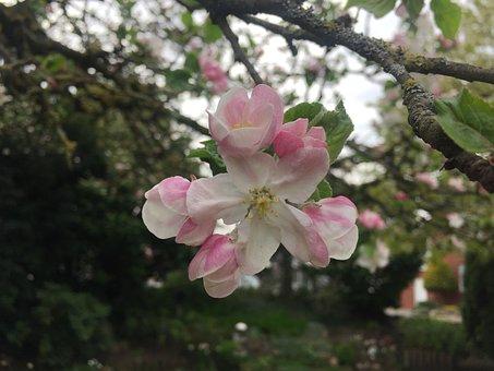 Apple Blossom, Apple Tree, Fruit Tree