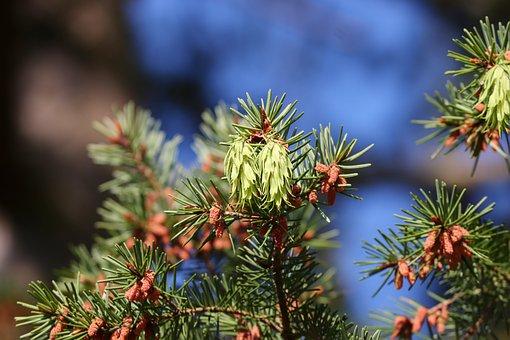 Tap, Green, Flowers, Pseudotsuga Menziesii, Douglas