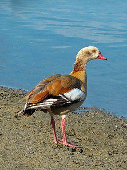 Oca, Egyptian, Water, Birds, Colorful