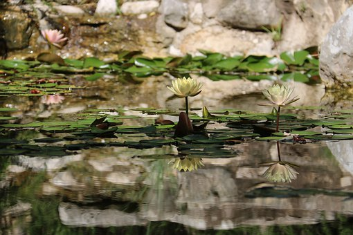 Water Lily, Nature, Japanese, Pond, Zen, Water, Animal
