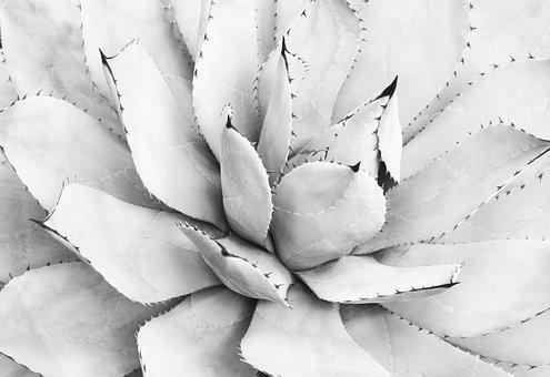 Agave, Black, And, White, Plant, Nature, Natural