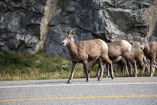 Mountain Goat, Jasper, Alberta, Roadway, Goat, Mountain