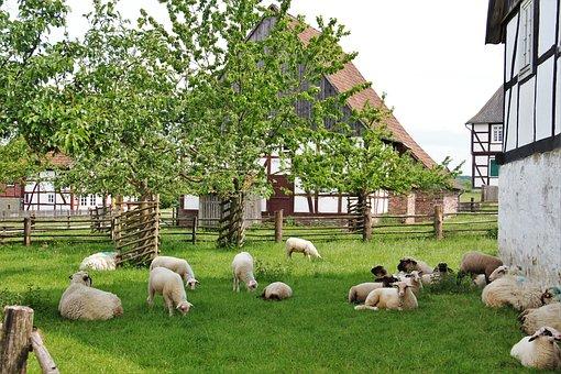 Bentheim Landrace Sheep, Westphalian Black Head Sheep