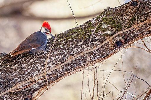 Bird, Nature, Tree, Natural, Woodpecker, Forest