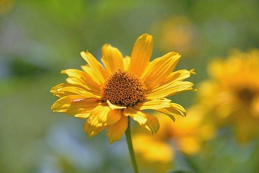 Perennial Sunflower, Composites, Blossom, Bloom, Garden