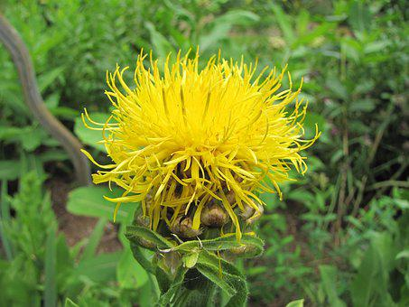 Knapweed, Flower, Yellow, Blossom, Blooming, Plant