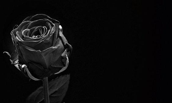 Rose, Black, Rose Bloom, Flower, Blossom, Bloom