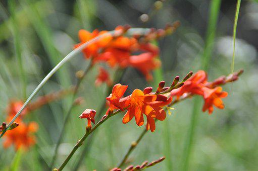 Montbretia, Flower, Orange, Perennial Border, Blossom