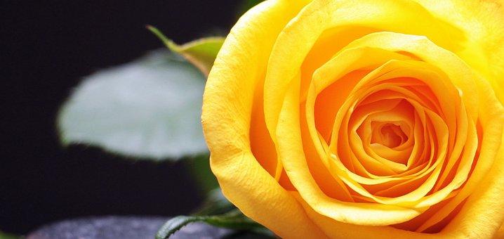 Rose, Rose Bloom, Flower, Blossom, Bloom, Close