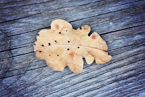 Leaf, Oak Leaf, Dried, Wood, Weathered, Grey, Close