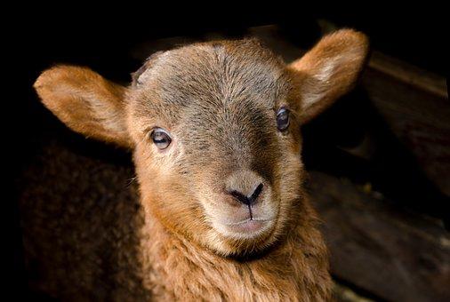 Lamb, Spring, Cute, Animal, Petting Farm, Farm, Sheep