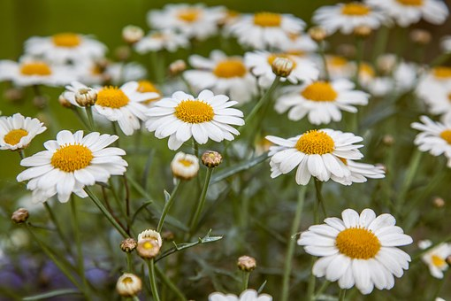 Daisies, Filtered, Daisy, Flower, Summer, Floral, White