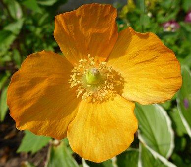 Poppy, Orange, Fresh, Spring, Flora, Nature, Flower