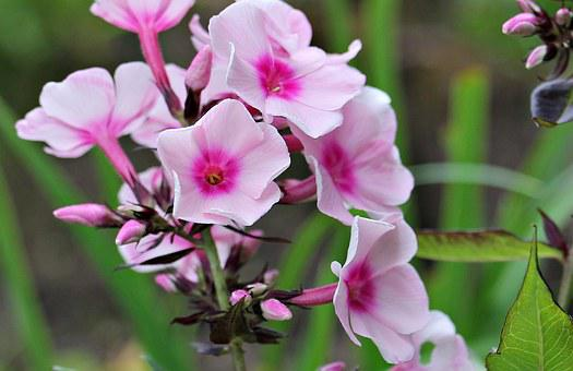 Phlox, Flame Flower, Flower, Garden, Ornamental Flower