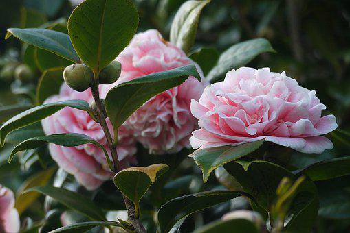 Camellia, Flowers, Garden, Floral, Hedge, Nature, Green