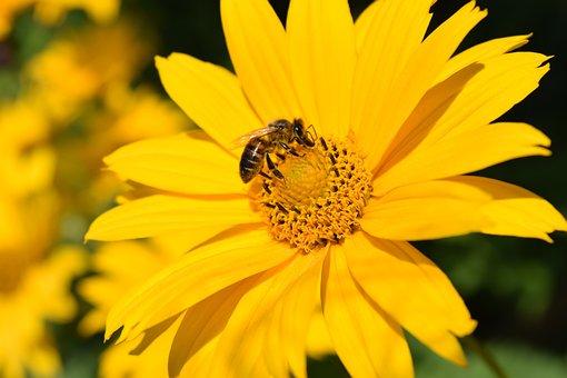 Helianthus Decapetalus, Perennial Sunflower, Blossom