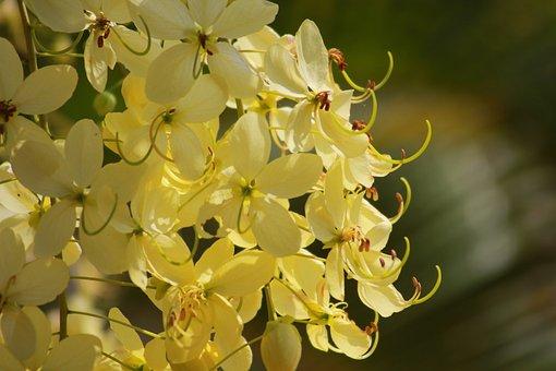 Cassia Fistula L, Flower, Yellow, Hoang Yen, Osaka