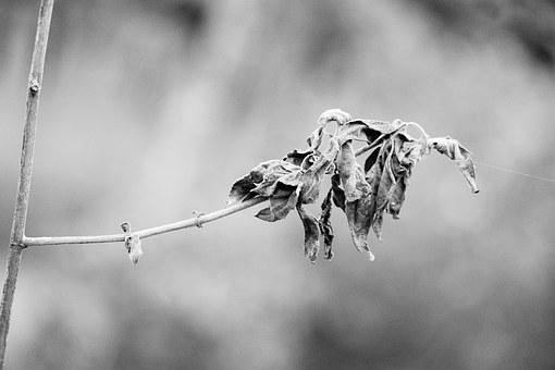 Gray Scale, Image, Dry, Leaf, Symbol, Nature, Arid