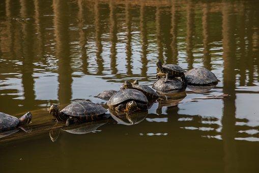 Nature, Peru, Turtle, Animals, Lime, Water Animal