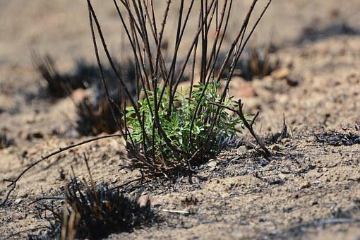 Wild, Fire, Wildfire, Sprouting, Plant, New Growth