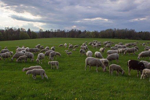 Sheep, Pasture, Flock, Flock Of Sheep, Livestock