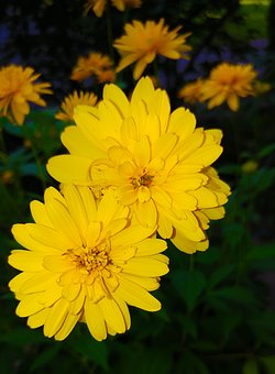 Coreopsis, Flower, Yellow, Plant, Asteraceae