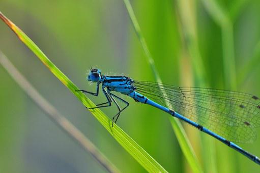 Dragonfly, Azure Bridesmaid, Insect, Nature, Pond, Wing