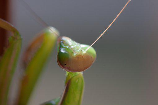 Praying Mantis, Insect, Macro, Fishing Locust, Animal