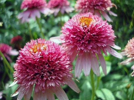 Echinacea, Purpurea, Pink Double Delight, Coneflower
