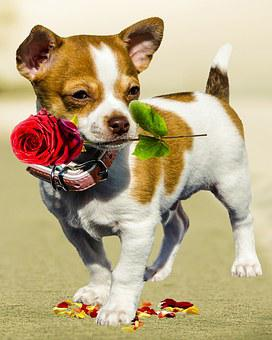 Dog, Rose, Birthday, Greeting Card, Excuse Me, Love