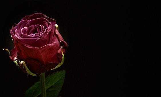 Rose, Red, Rose Bloom, Flower, Blossom, Bloom, Close Up
