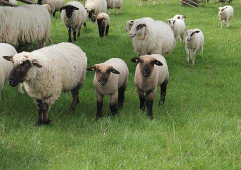 Westphalian Black Head Sheep, Sheep, Lambs