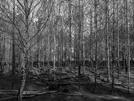 Forest, Black And White, Tree, Burned, Trees, Grove